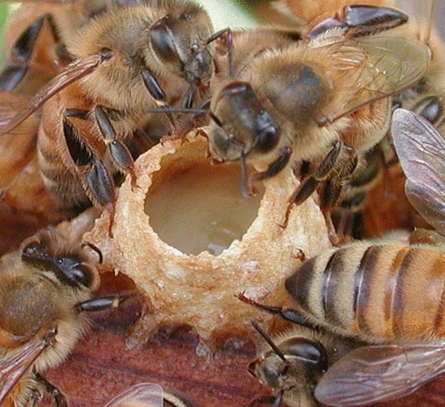 Пчелиное маточное молочко - Победа Качество Здоровье
