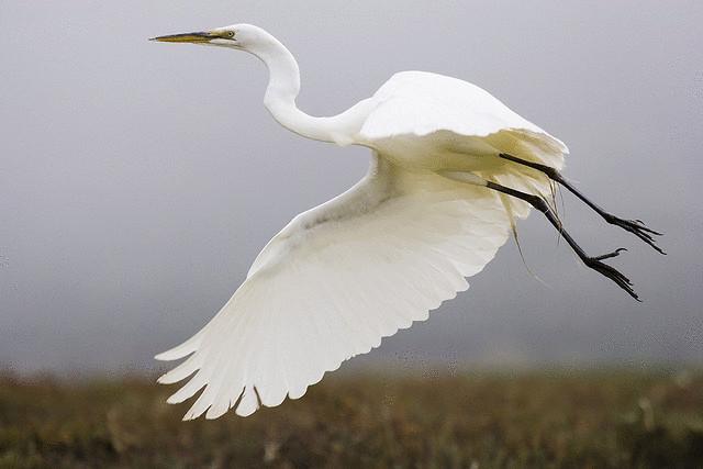 Полет большой белой цапли