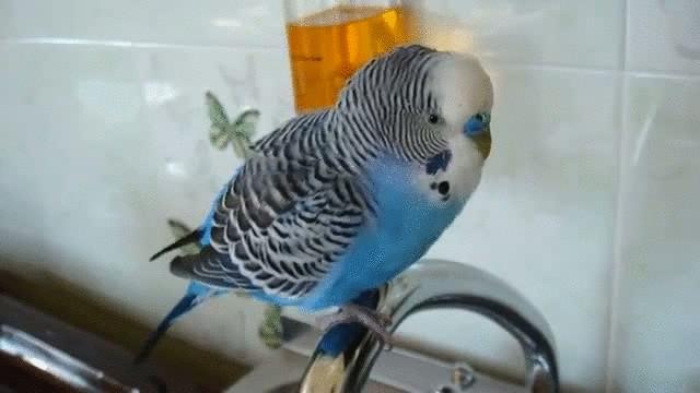 Разговор волнистых попугаев слушать онлайн