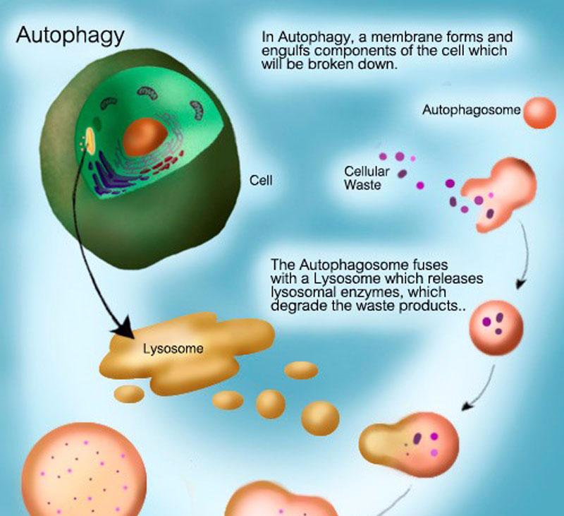 Механизм аутофагии