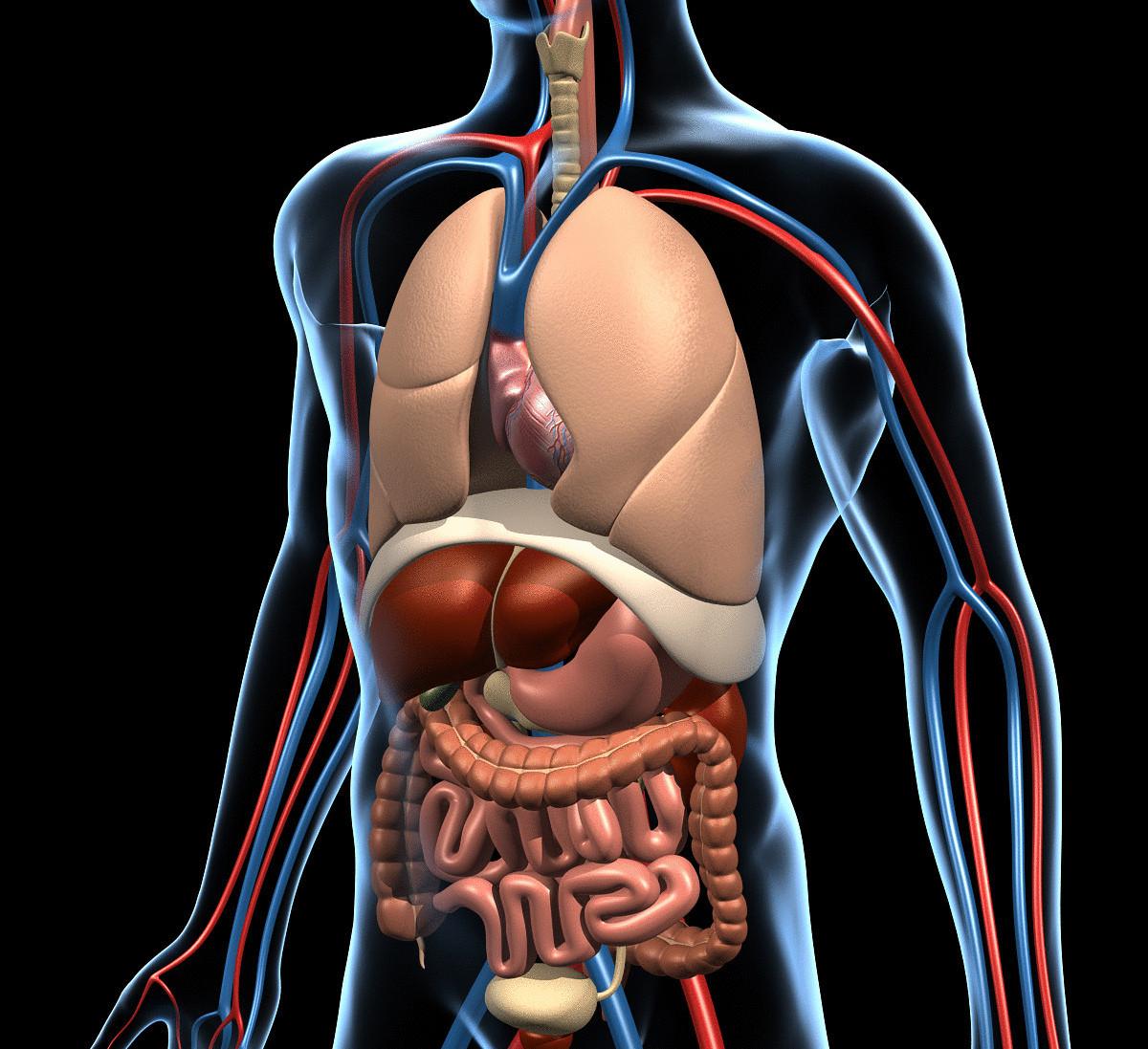 Как происходит пищеварение в желудке кратко. Процесс пищеварения в организме человека: по времени