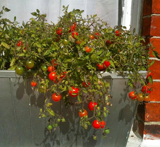 Как сажать помидоры на окне 70