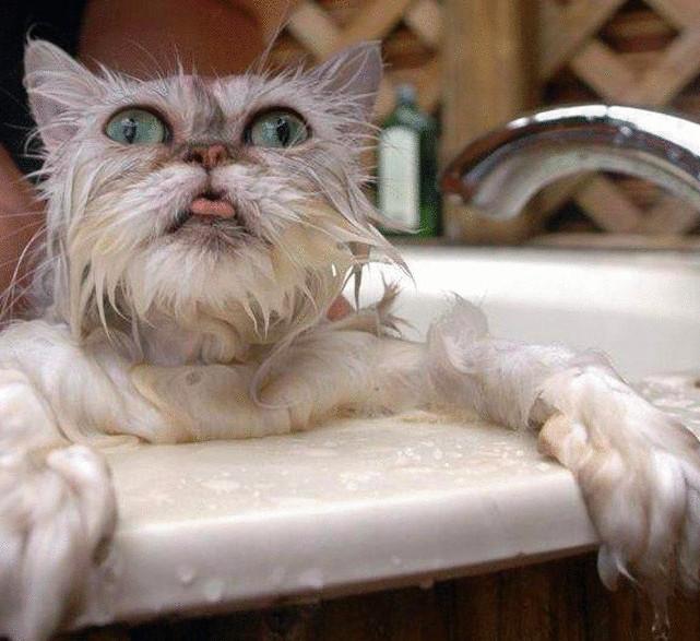 Как помыть кота – советы владельцам