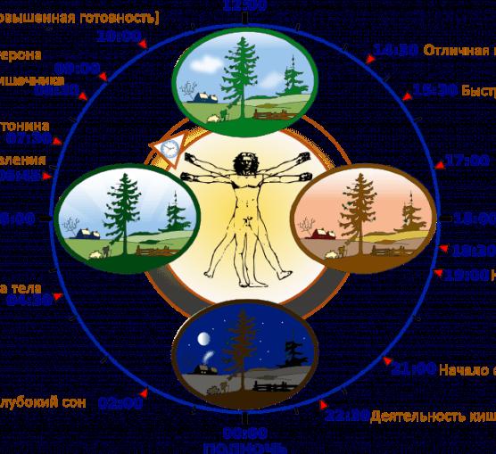 Биологические часы у парней щитовидная железа