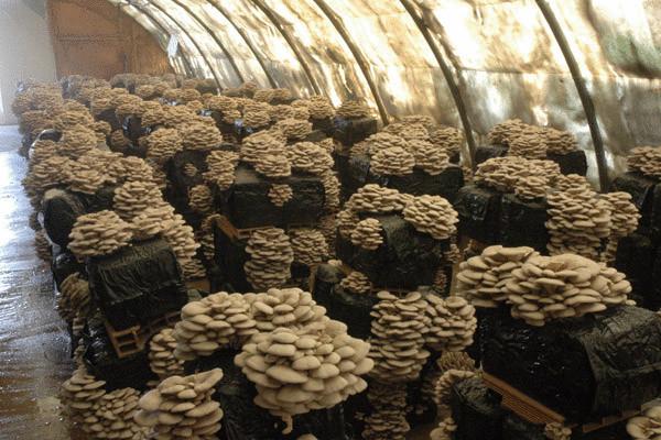 Выращивание вешенки грибов как бизнес 21