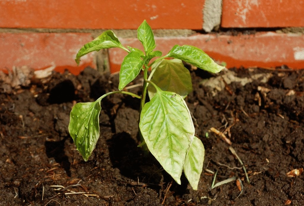 Выращивание перца болгарского в грунте 48