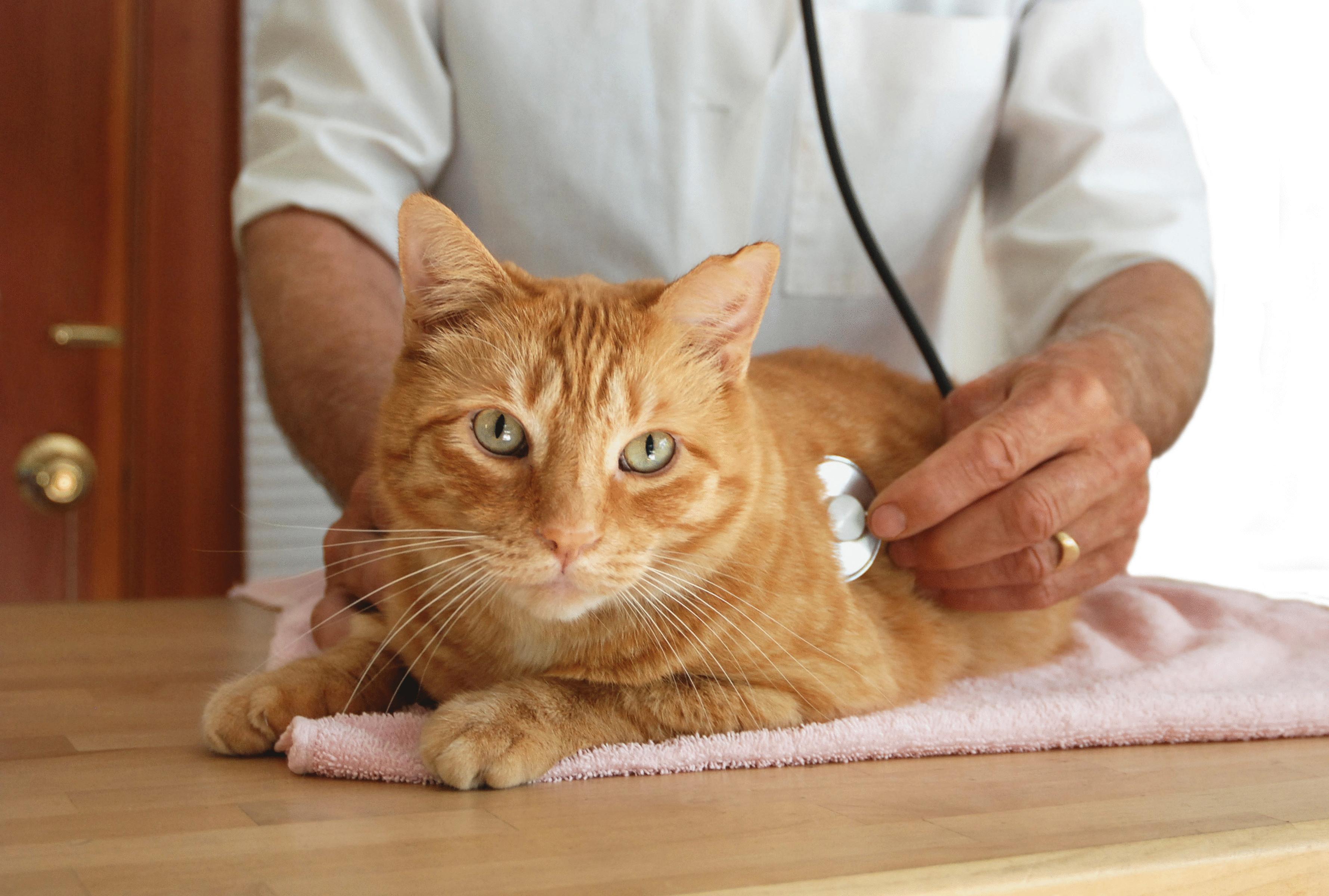 Чем лечить насморк у кошек в домашних условиях