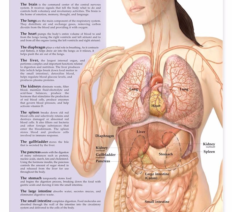 Схема организма женщины