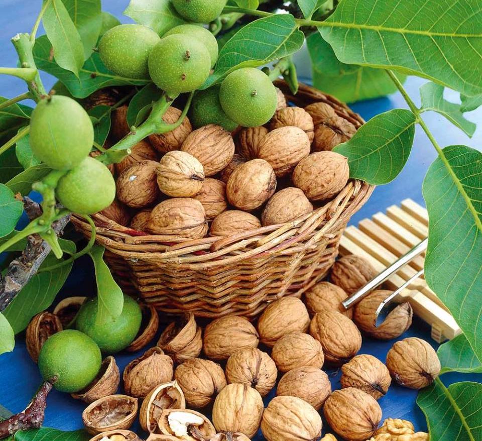 Зимостойкие сорта грецкого ореха