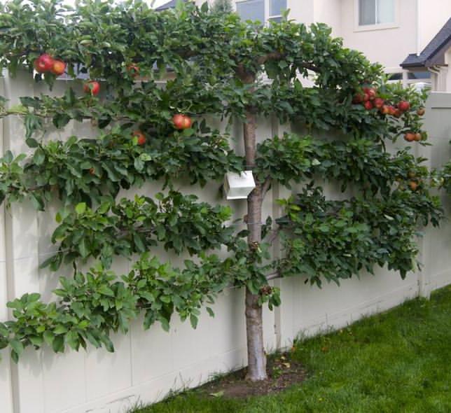 Как выращивать деревья на шпалере