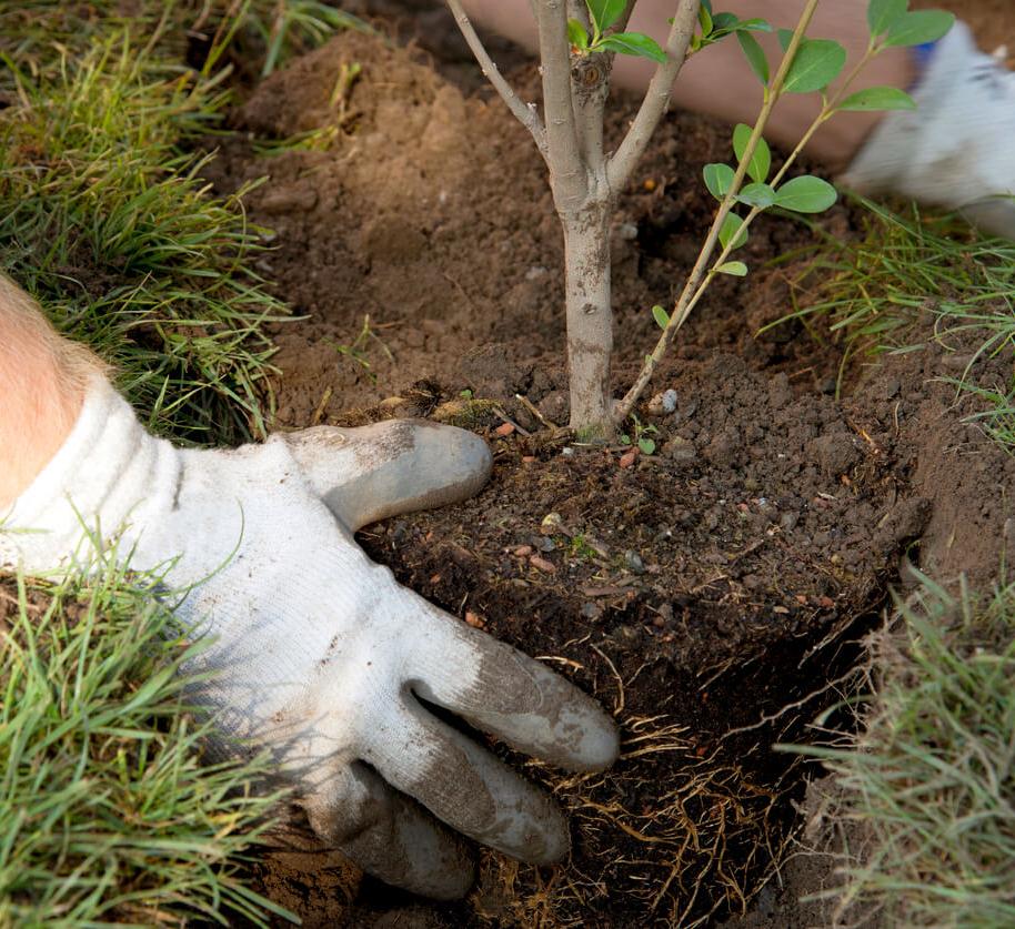 Осенняя пересадка кустов и деревьев