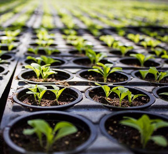 Выращивание в однолетней культуре 879