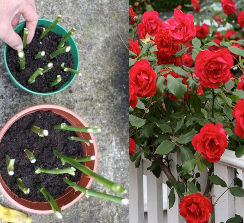 Размножать розы домашних условиях 941