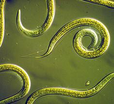 зеланд от паразитов