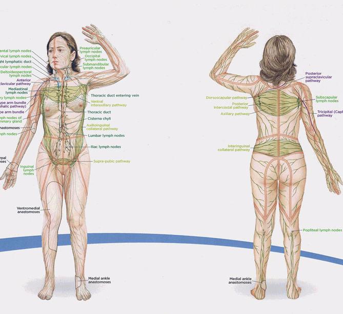Лимфа и ухудшение оттока жидкости, лимфостаз, лимфодренаж