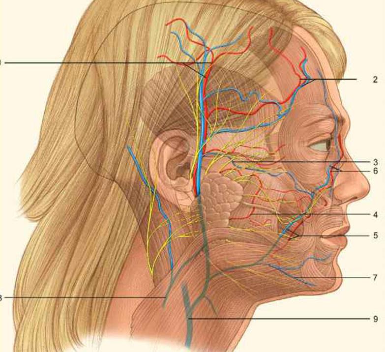 что как проходит тройничный нерв фото традиционной