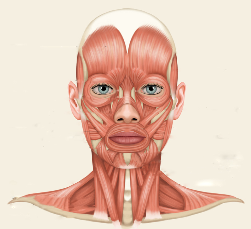 facial-muscles-diagram