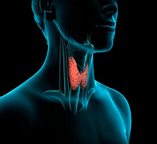Работа щитовидной железы и ее гормоны