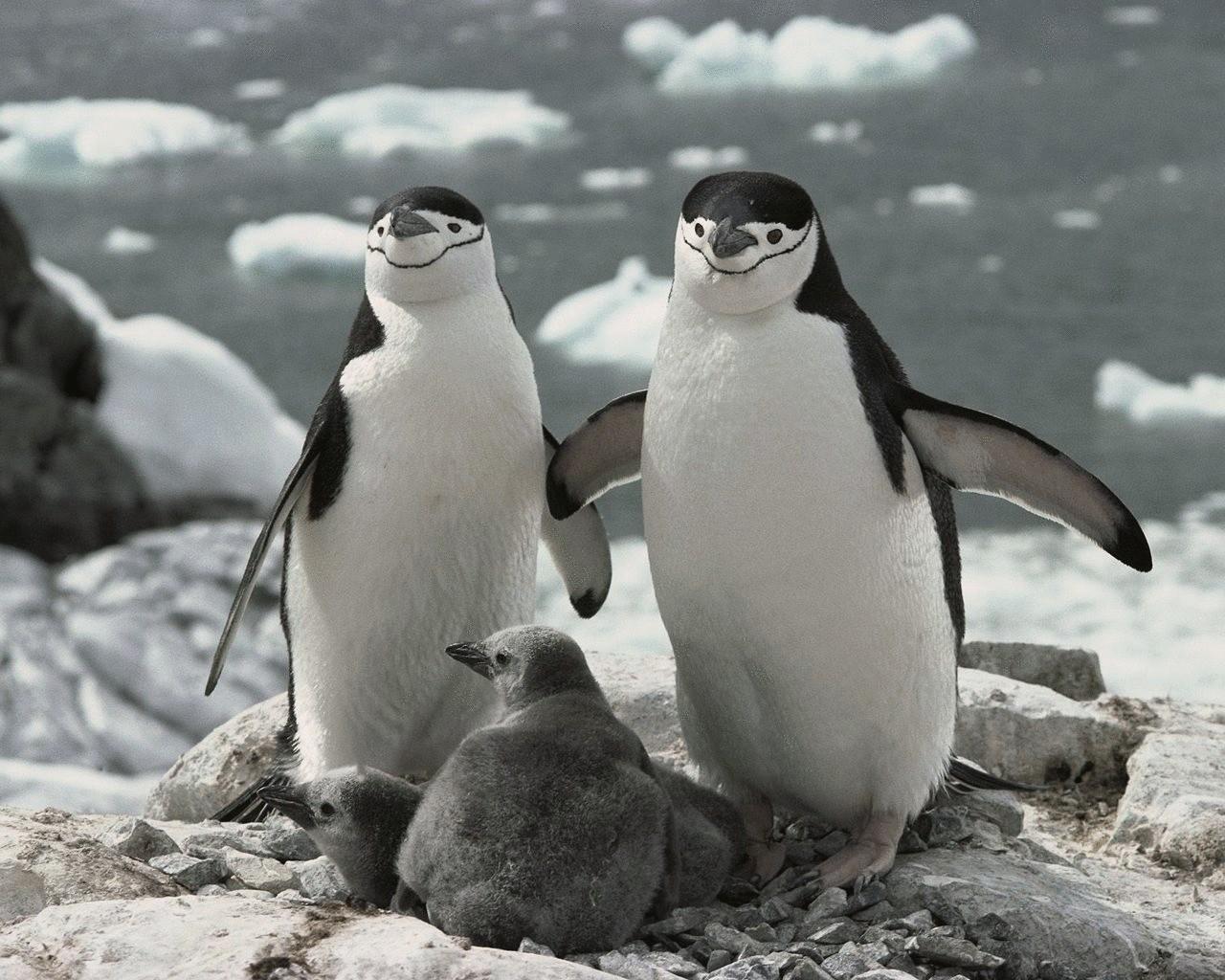 ОтветыMailRu обитают пингвины на северном полюсе
