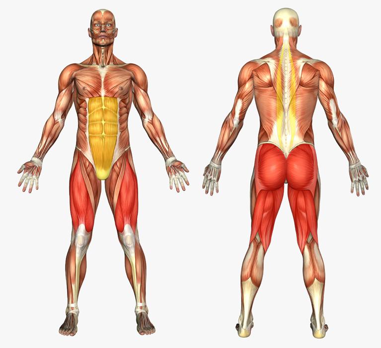 Картинка со всеми группами мышц