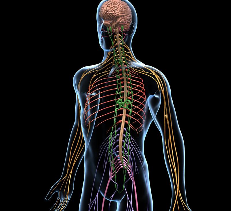 Картинка нервова система