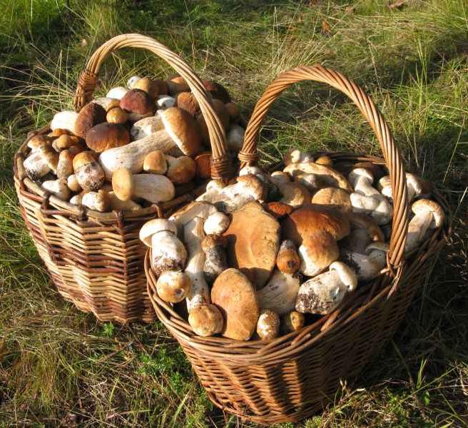 Выращивание белых грибов на даче