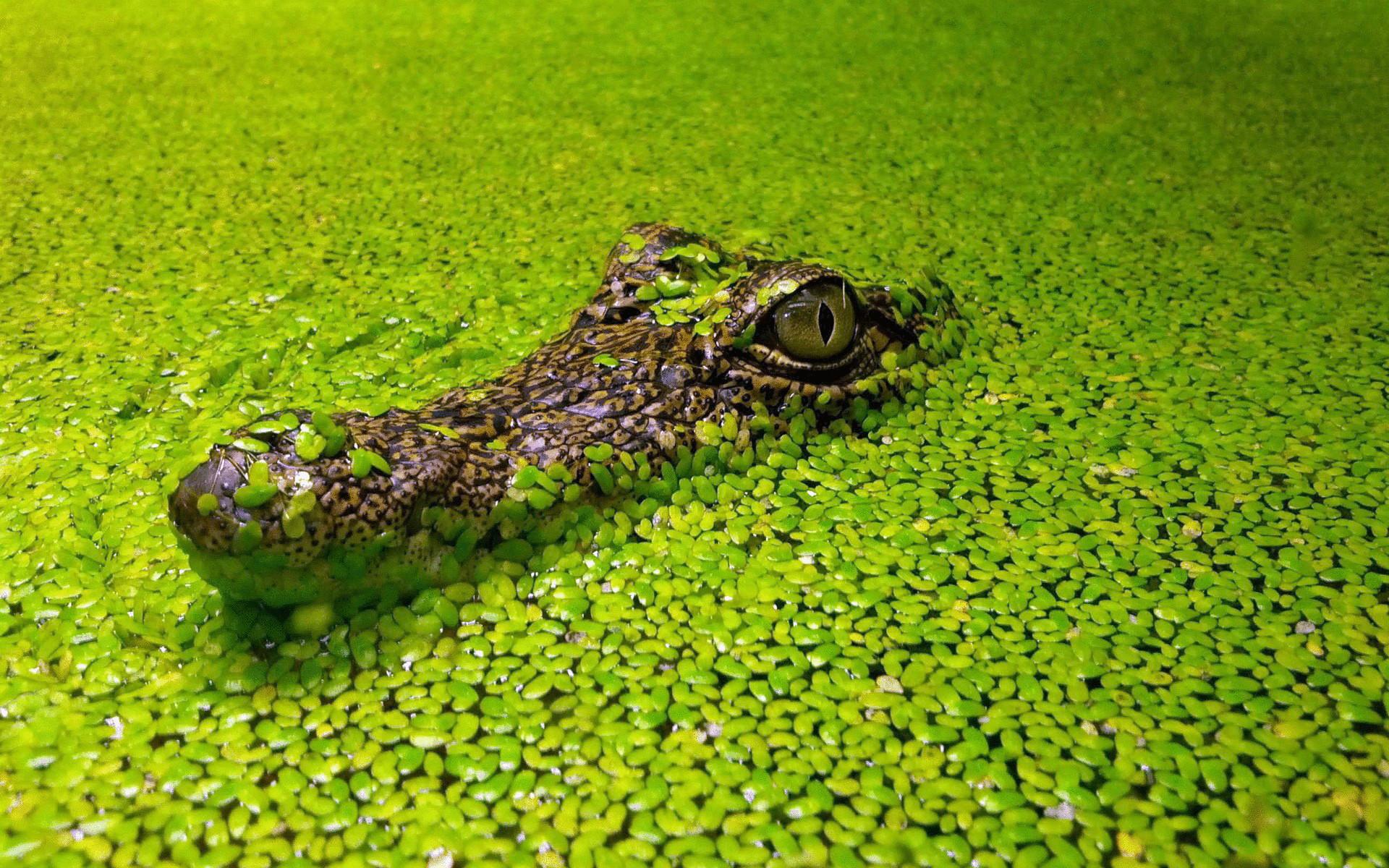 В Австралии жабы
