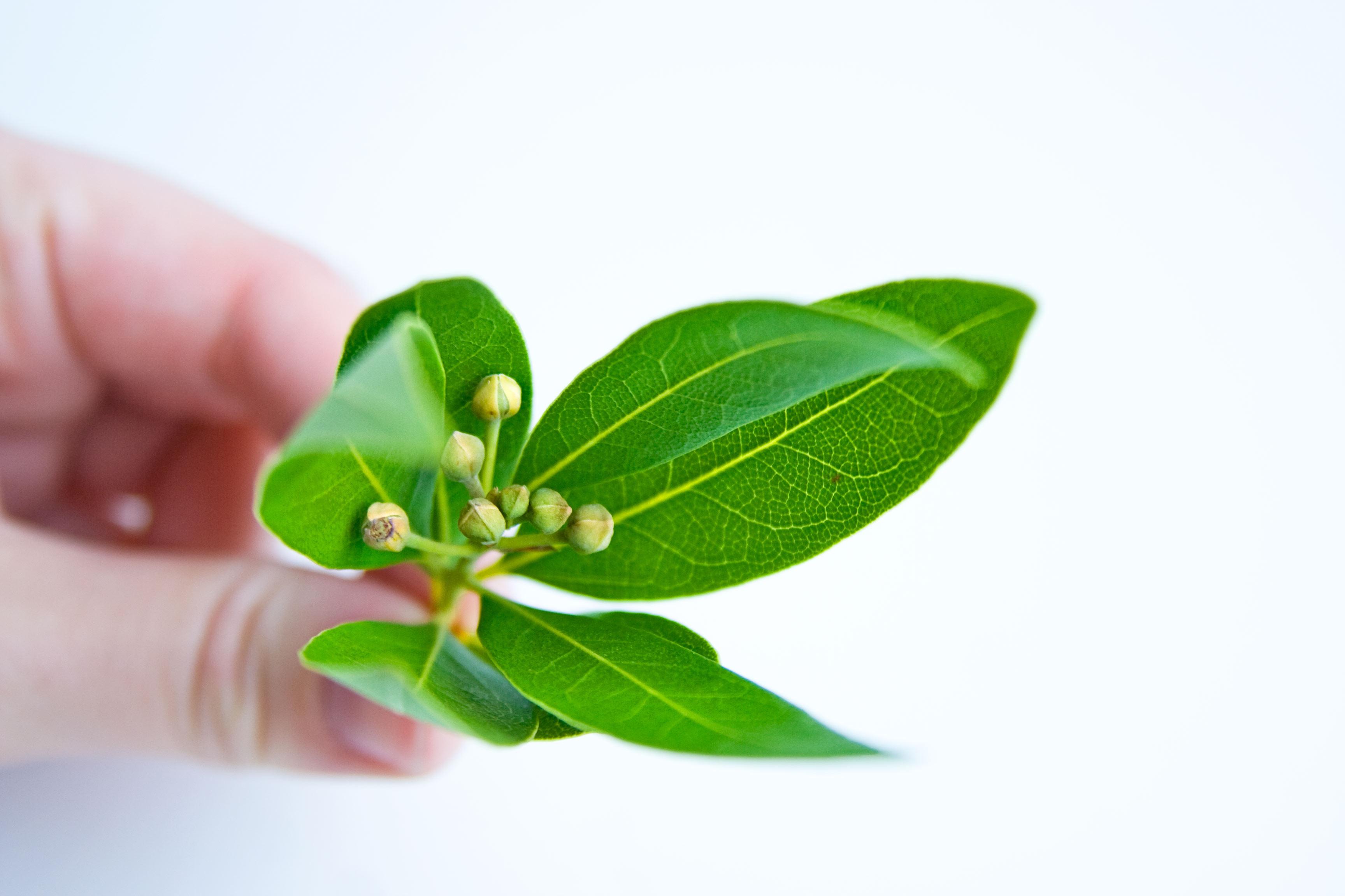 Лечебные свойства лаврового листа: применяем для лечения отвар, масло и настой