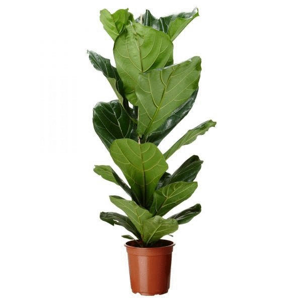 Ficus will help to conceive a child