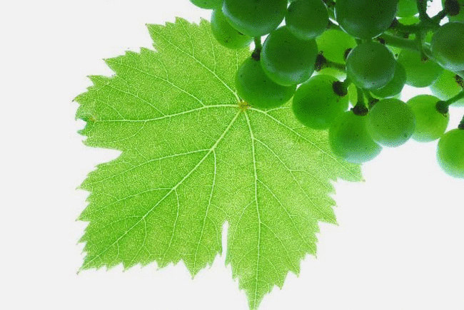 Масло виноградной косточки: польза, состав и применение