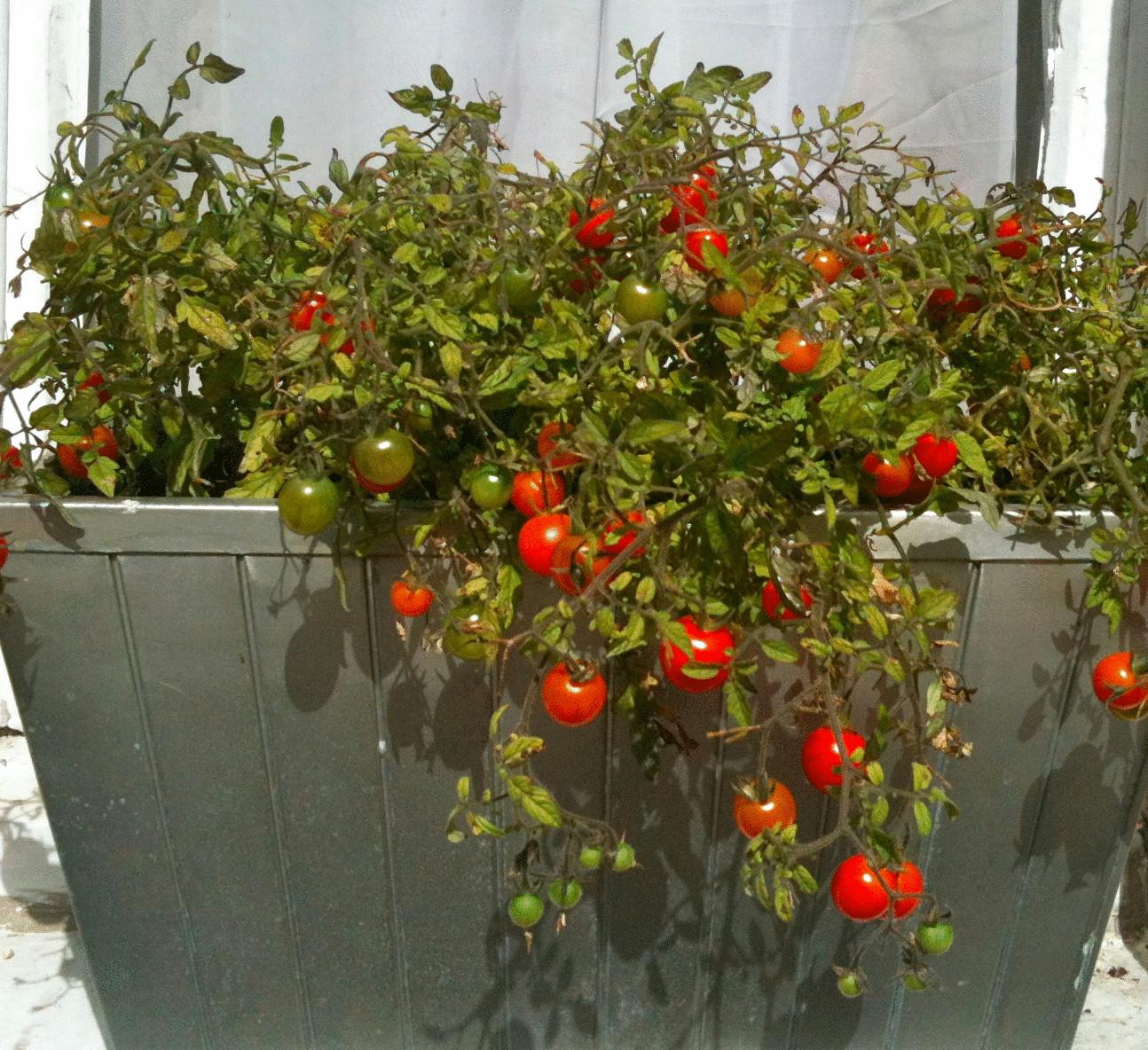 Выращивания помидоров в домашних условиях