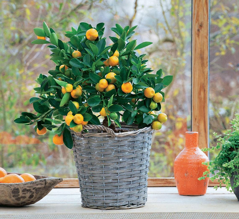 Выращиваниё лимонов 18