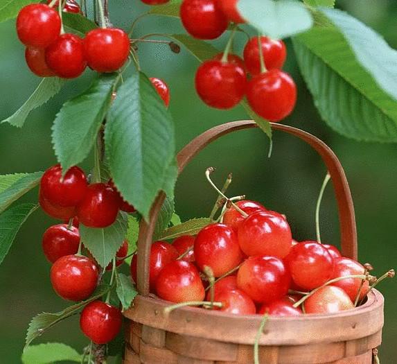 Войлочная вишня в качестве подвоя для персика