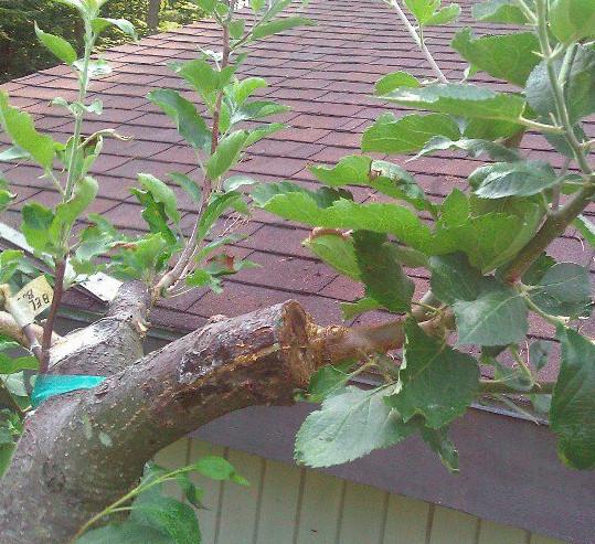 Окулировка плодовых деревьев весной: эффективность, преимущества