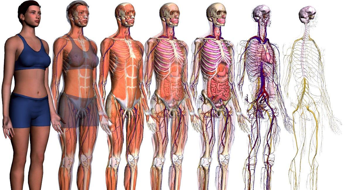 Анатомия женщины в картинках для детей