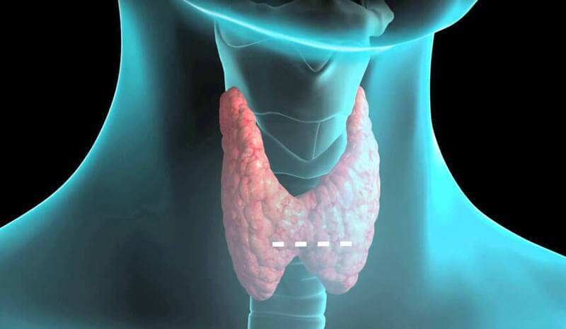 thyroid gland The thyroid gland is a gland in the neck that secretes metabolic hormones important to the growth of the human body it specifically helps coordinate the creation and use of energy, and is by far the.