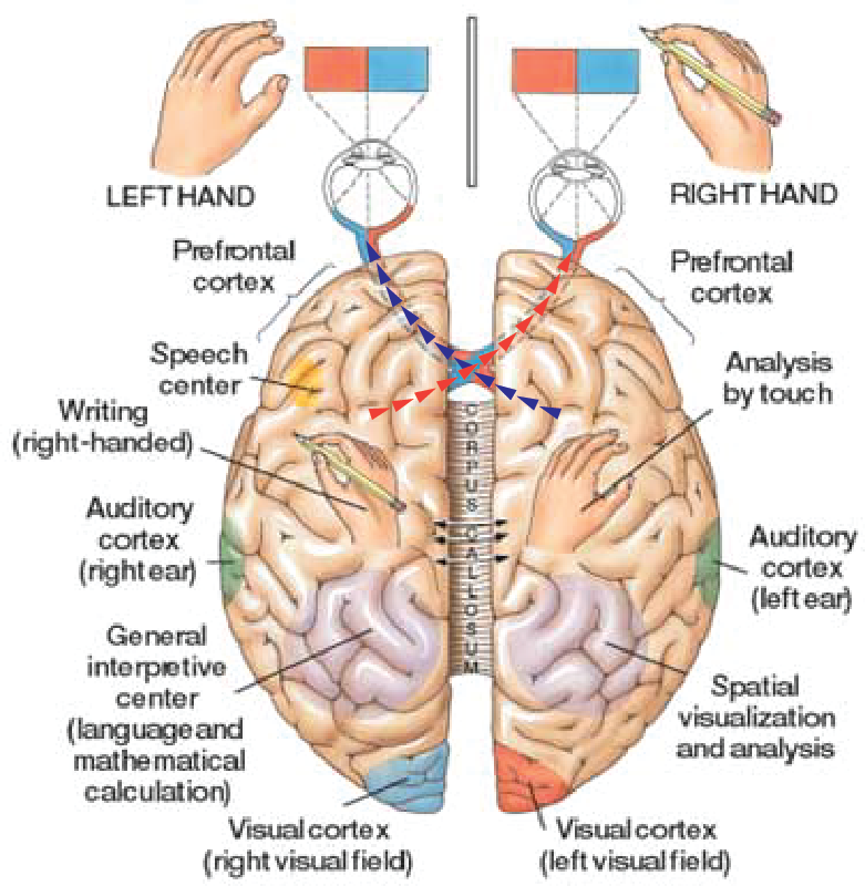 localization of human brain function essay The equipotentiality concept and localisation models led to the distributed function model of the brain, which is a compromise between the two models as it shows both how the brain can adapt and re-organise itself in the event of damage, ie if a lobe is damaged the brain can 'rewire' itself to.