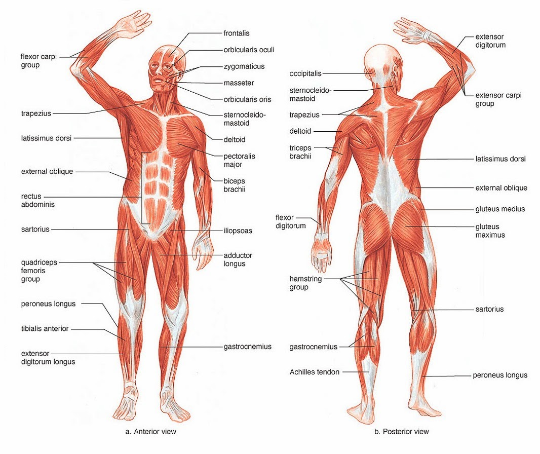 How Does The Extent And Orientation Of The Human Sartorius Muscle