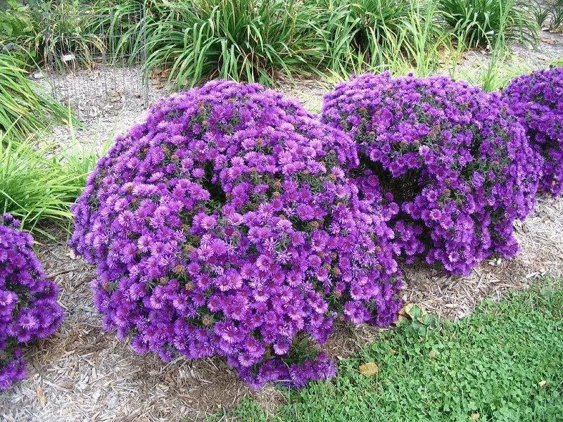 Многолетние кустарниковые цветы
