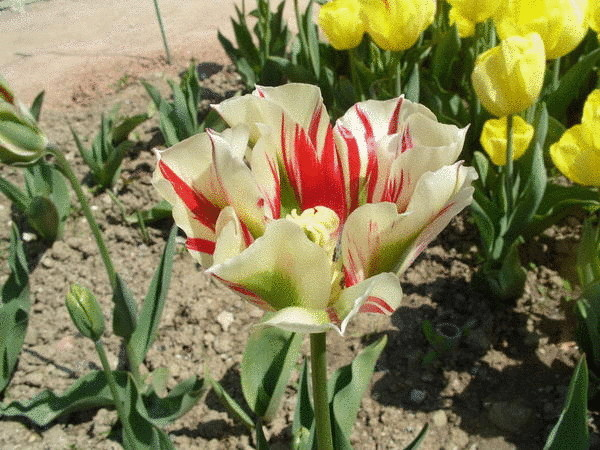 Тюльпан сорт Flaming Springgreen