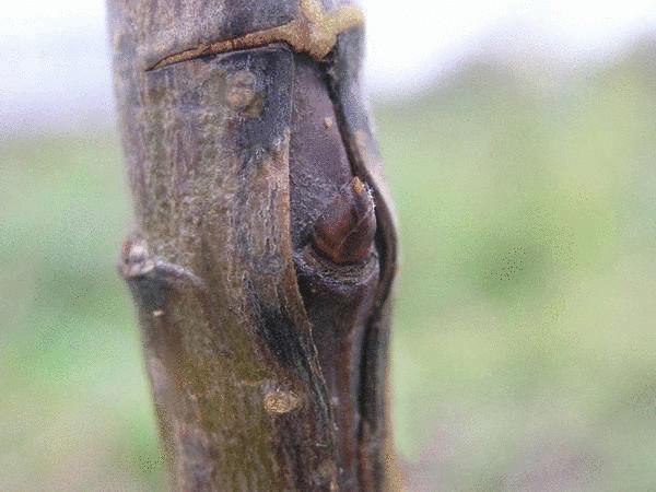 Что такое окулировка плодовых растений и как ее правильно выполнить