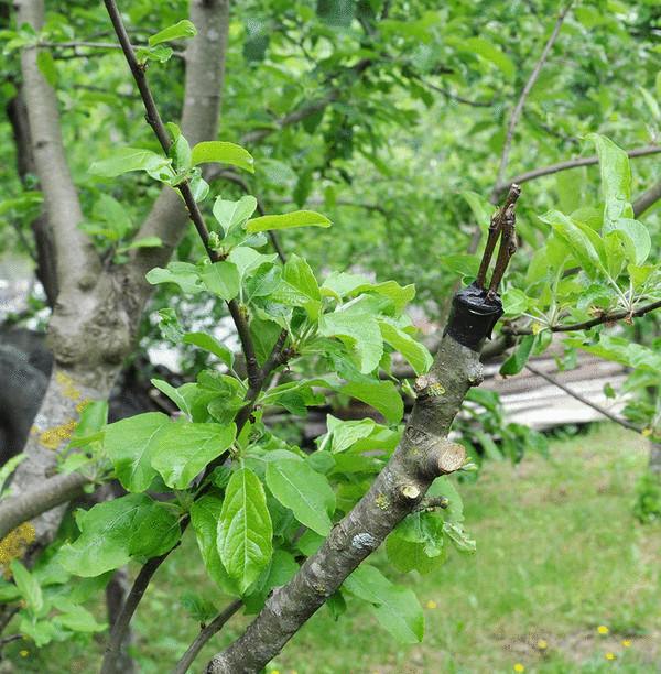 Привитая яблоня