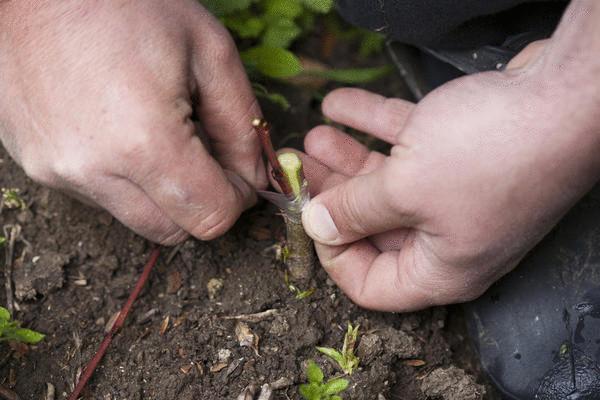 Прививка в расщеп - очень распространённый и любимый садоводами способ