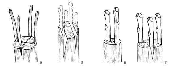 """Разновидности прививок """"в расщеп"""", фото с сайта fictionbook.ru, автор Галина Серикова"""