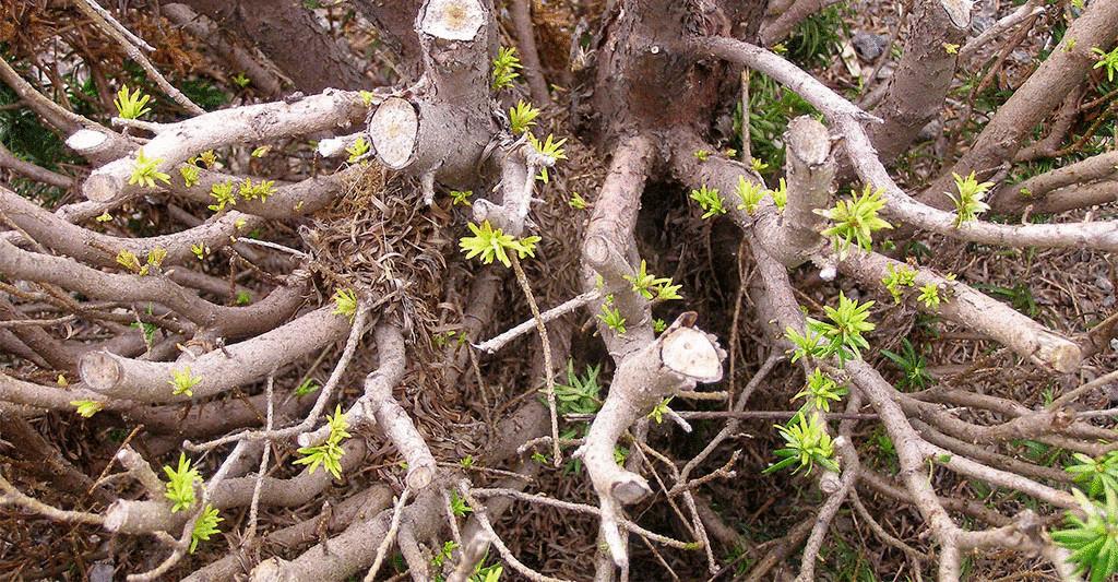 Через какое-то время дерево восстановится