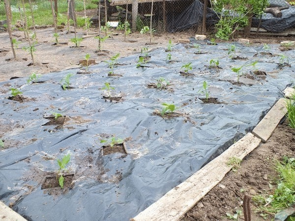 Способ выращивания для ленивых: баклажаны и перец
