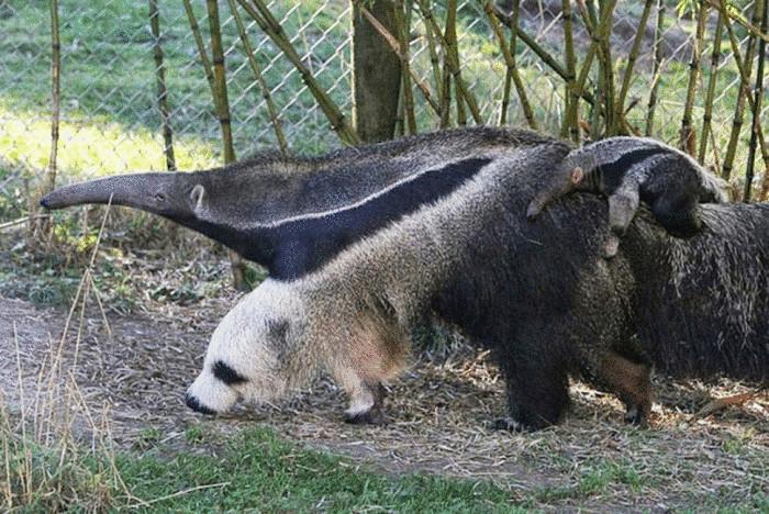 Расцветка шерсти муравьеда удивительно сильно похожа на голову панды.