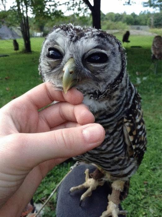 Голова орла на клюве у совы.