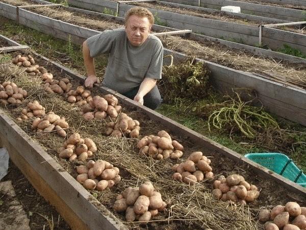 Выращивание картофеля с нуля 89