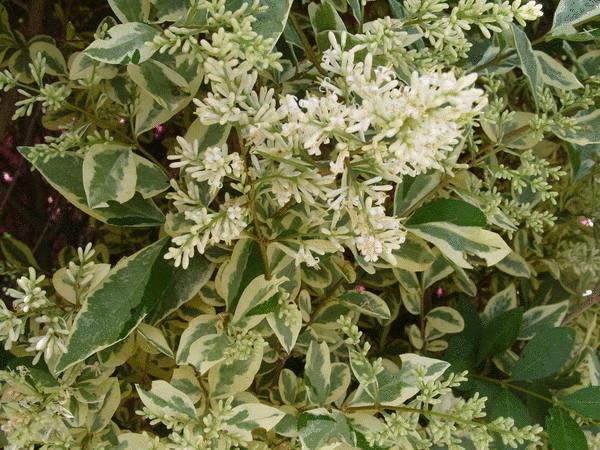 Бирючина обыкновенная Aureo-variegata